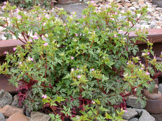 Geranium pratense - Beemdooievaarsbek