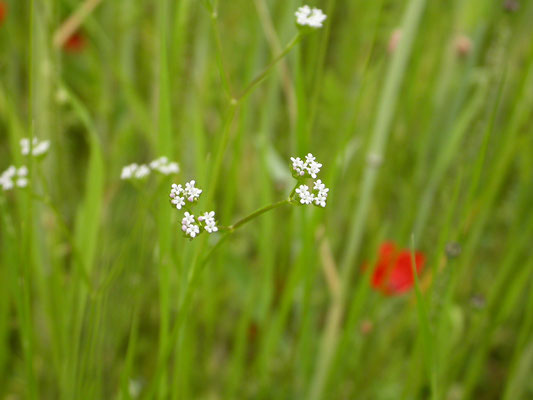 Valerianella  rimosa - Geoorde veldsla