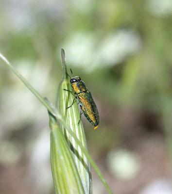 Anthaxia species
