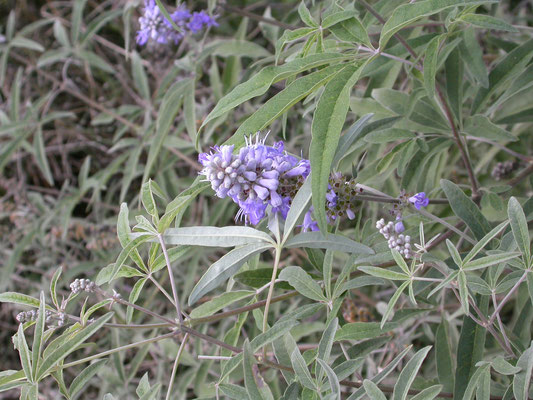 Vitex agnus-castus - Kuisheidsstruik, Monnikspeper