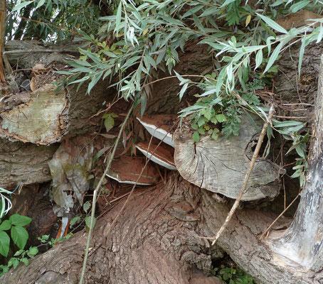 Ganoderma adspersum - Dikrandtonderzwam