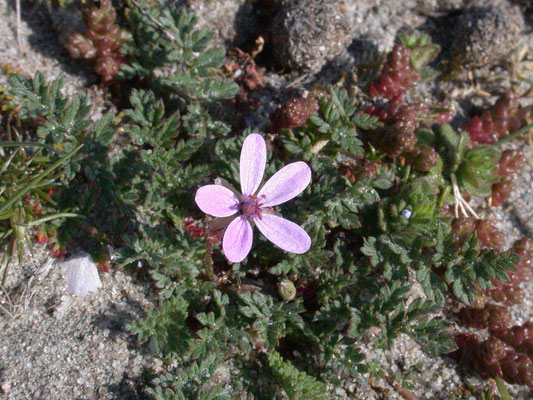 Erodium cicutarium dunense - Duinreigersbek