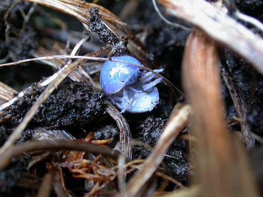 Armadillium vulgare - Gewone oprolpissebed
