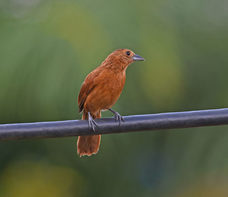 White-lined Tanager, female