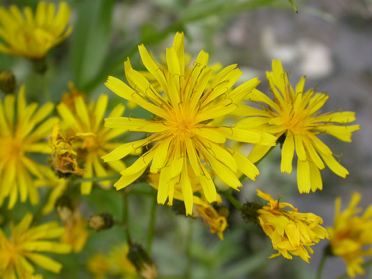 Sonchus palustris - Moerasmelkdistel