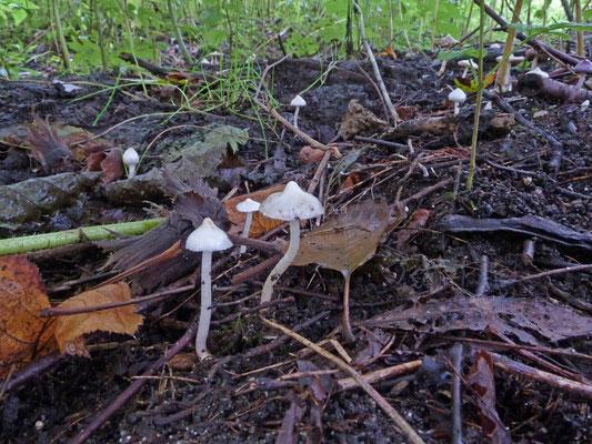 Inocybe geophylla- Witte satijnvezelkop
