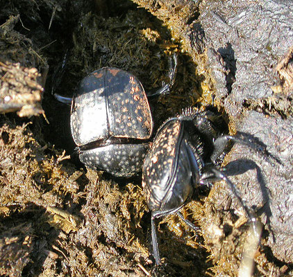Scarabaeus variolosus