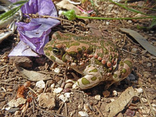 Bufotes viridis variabilis