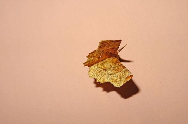 Lindeherculesje (Selenia lunularia)