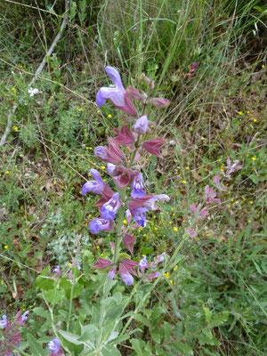 Salvia officinalis - Echte salie