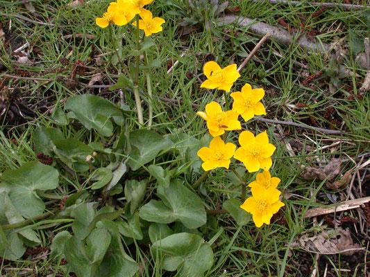 Caltha palustris palustris - Dotterbloem