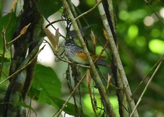 Guianan Warbling-Antbird