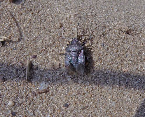 Rhacognathus punctatus - Heideschildwants