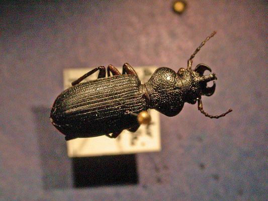 Ditomus calydonius