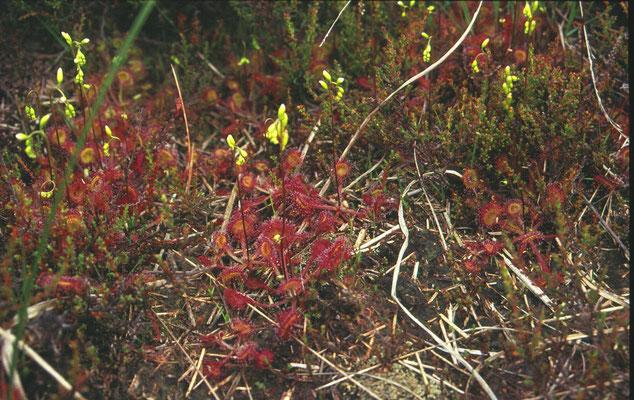 Drosera rotundifolia-  Ronde zonnedauw