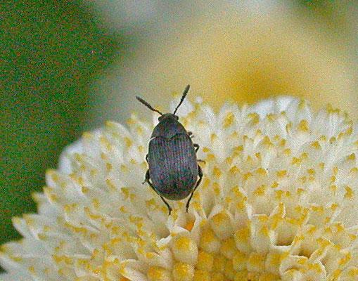 Bruchidius villosus - Bremzaadkever