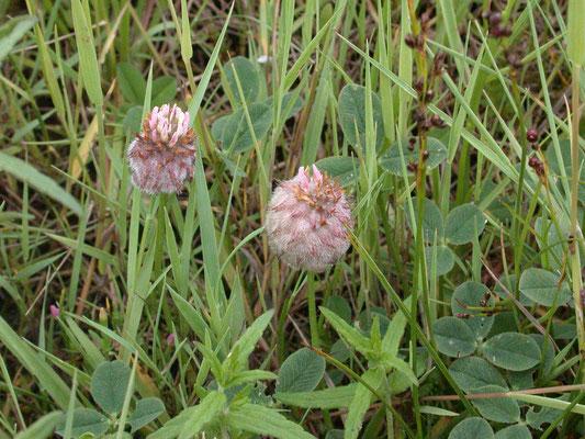 Trifolium fragiferum - Aardbeiklaver