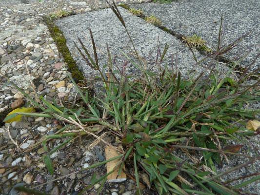 Digitaria sanguinalis - Harig vingergras