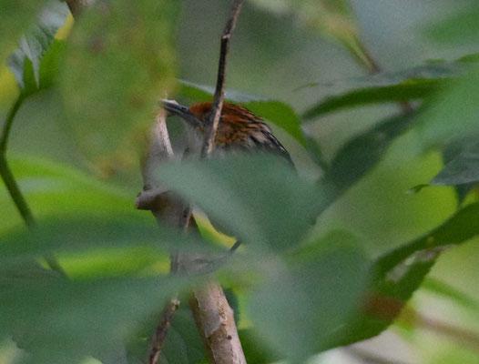 Guianan Streaked-Antwren, female