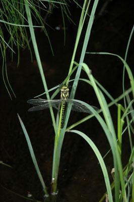 Gewone bronlibel (Cordulegaster boltonii)
