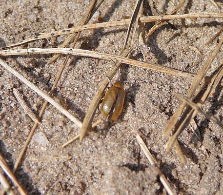 Lochmaea suturalis - Heidehaantje