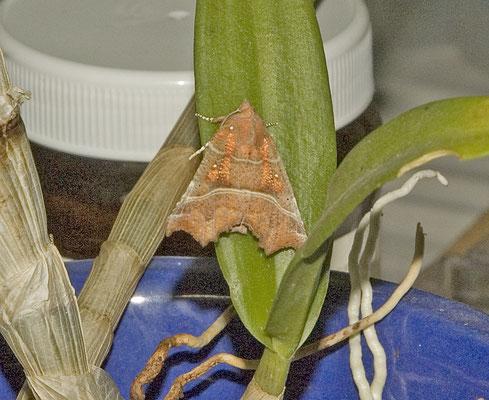 Scoliopteryx libatrix - Roesje