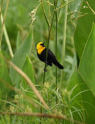 Yellow-hooded Blackbird. male