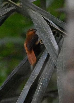 Cinnamon-rumped Foliage-gleaner