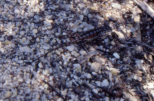 Rankinia diemensis - Mountain Dragon, male