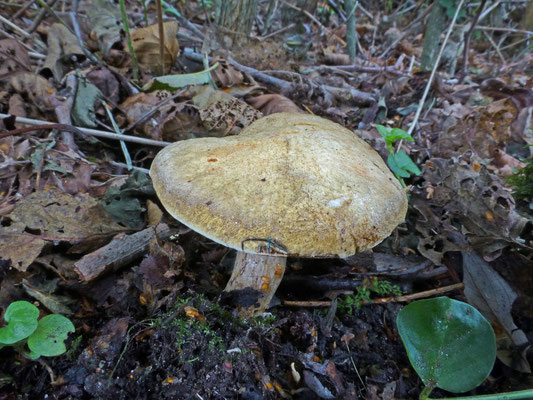 Gyrodon lividus - Elzenboleet