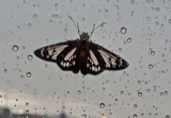 Phanus vitreus