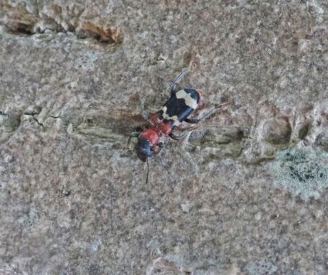 Thanasimus formicarius - Mierenkever