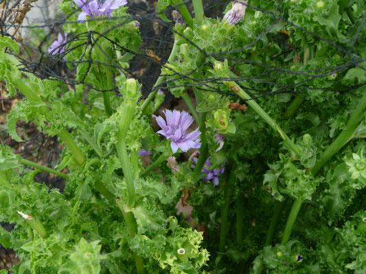Cichorium endivia - Andijvie