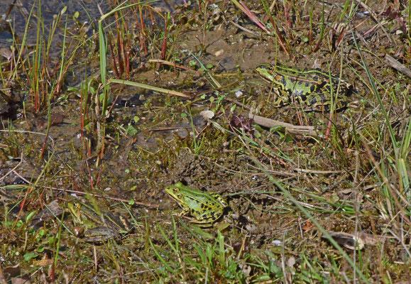 Verschillende soorten groene kikker