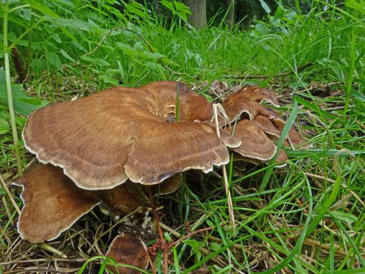 Meripilus giganteus - Reuzenzwam