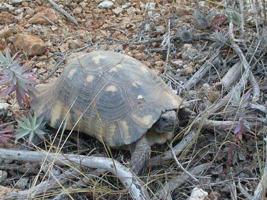 Testudo marginata marginata (klokschildpad)