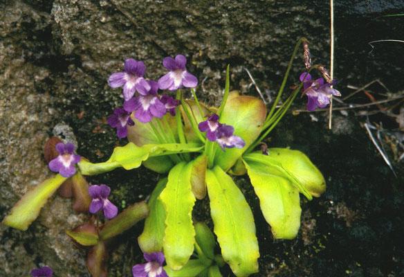 Pinguicula longifolia - Langbladig vetblad
