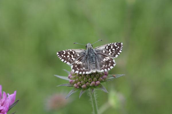 Aardbeivlinder (Pyrgus malvae), foto Ruud
