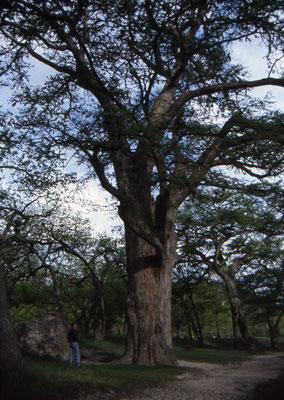 Jan bij een enorme boom