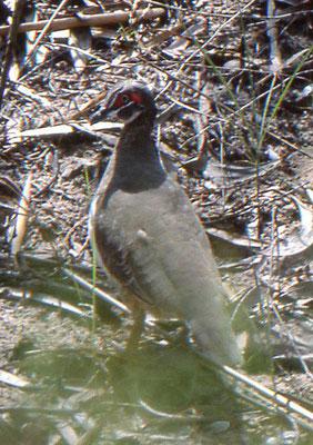 Partridge Pigeon
