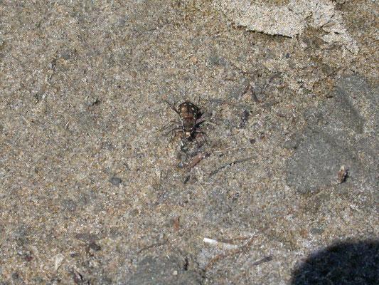 Calomera littoralis nemoralis