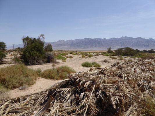 plantfaval nabij palmplantage