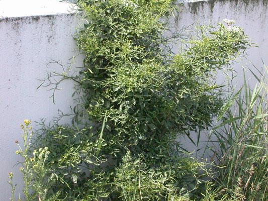 Sambucus nigra var. laciniata - Peterselievlier