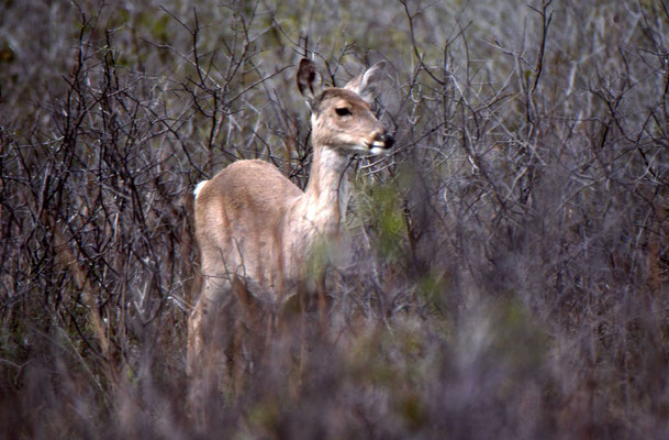 Witstaarthert (White-tailed Deer)