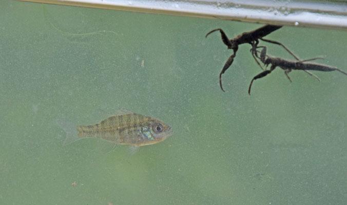 Blauwkeelzonnebaars (Lepomis macrochirus)