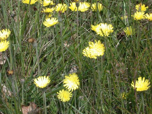 Hieracium pilosella - Muizenoor