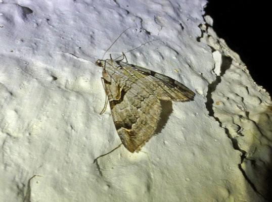 Aplocera praeformata - Bonte blokspanner
