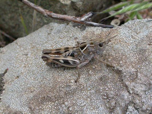 Omocestus species?