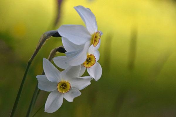 Narcissus poeticus - Fazantoognarcis