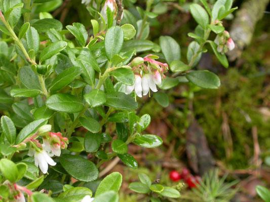 Vaccinium vitis-idae - Rode bosbes, Veenbes